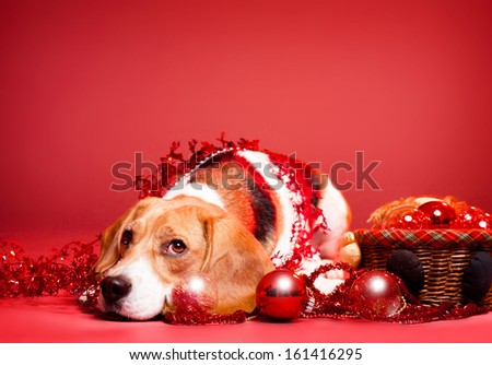 Portrait of an adorable cute beagle in christmas setting. - stock photo