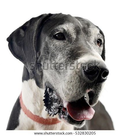 Portrait of an adorable Great Dane dog, studio shot, isolated on white.