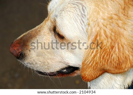 Portrait of an adorable yellow lab, profile