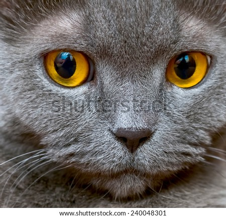 Portrait of an adult cat British breed with yellow eyes