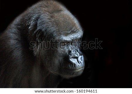 Portrait of an adult gorilla on a black background - stock photo