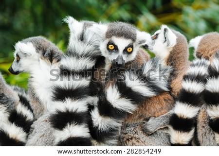 Portrait of an adult lemur katta - stock photo