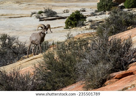 portrait of an adult male big horn sheep on the sandstone cliffs of Zion National Park in Utah - stock photo