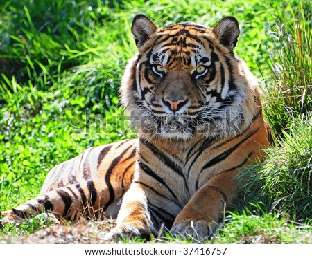 Portrait of an adult male Sumatran tiger; this picture was taken at a wildlife rehabilitation project of endangered species - stock photo