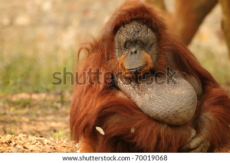 Portrait of an adult orangutan with a sad look on its face - stock photo