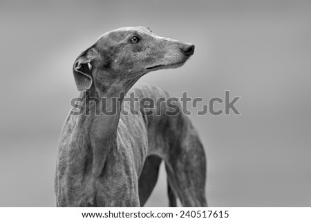 Portrait of an adult Spanish Greyhound dog - stock photo