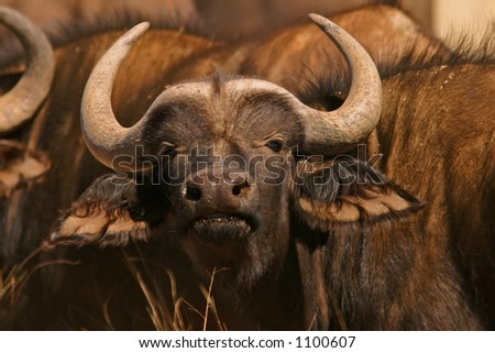 Portrait of an African buffalo bull (Syncerus caffer), South Africa