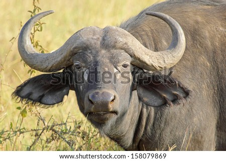 Portrait of an african buffalo (Syncerus caffer) looking - stock photo