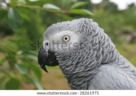 Portrait of an african grey parrot (Psittacus erithacus) - stock photo