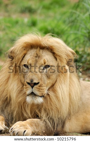 Portrait of an african lion male (Panthera leo krugeri). - stock photo