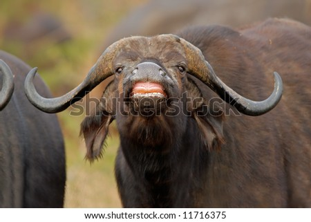 Portrait of an African or Cape buffalo (Syncerus caffer), Kruger National Park, South Africa - stock photo