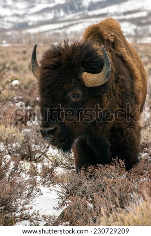 Portrait of an aged bison by himself, Teton National Park - stock photo