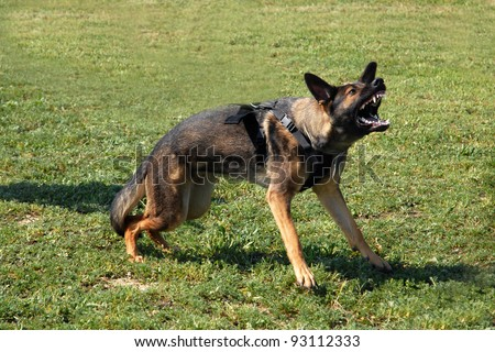 portrait of an aggressive  purebred german shepherd outdoors