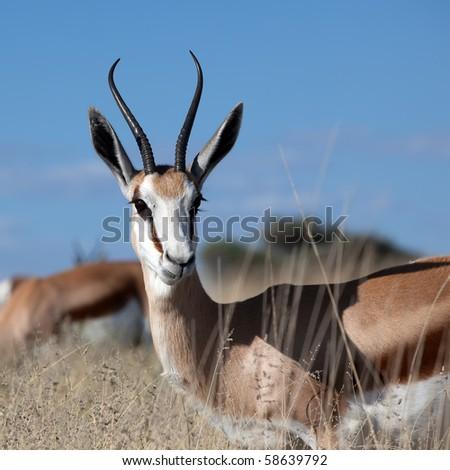 Portrait of an alert springbok - stock photo