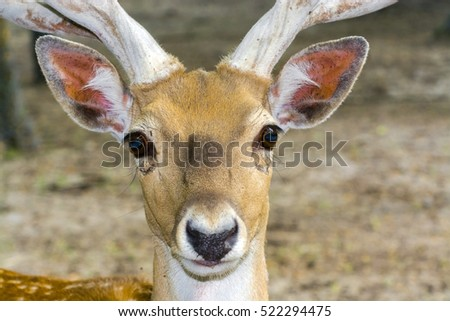 Portrait of an almost extinct deer species