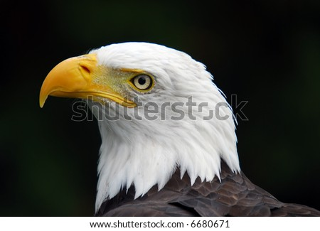 Portrait of an American Bald Eagle (Haliaeetus leucocephalus)
