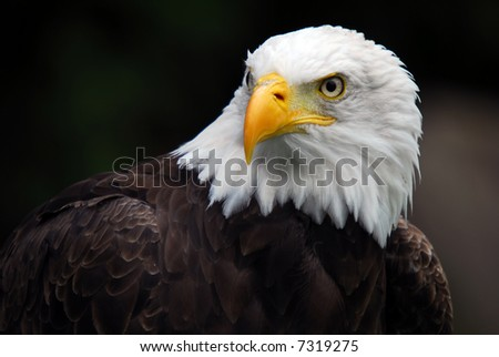 Portrait of an American Bald Eagle (Haliaeetus leucocephalus) - stock photo