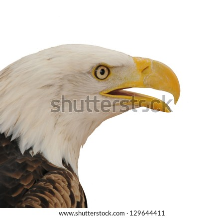 Portrait of an American Bald Eagle (Haliaeetus leucocephalus) isolated on white - stock photo