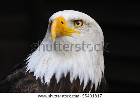 Portrait of an american bald eagle, symbol of freedom of the United States of America. - stock photo