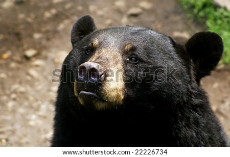 Portrait of an American Black Bear. - stock photo