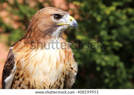 Portrait of an american red-tailed hawk - stock photo