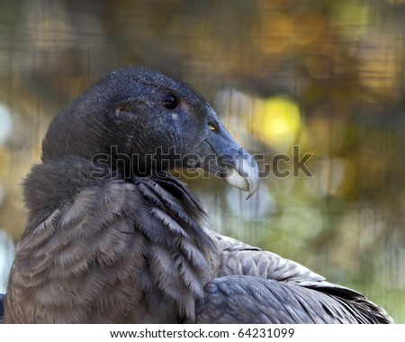 portrait of an Andean Condor