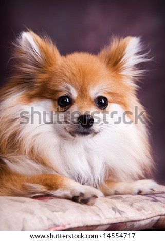 Portrait of an andorable Pomeranian puppy.