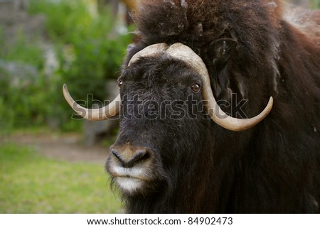portrait of an angry musk ox with big horns - stock photo