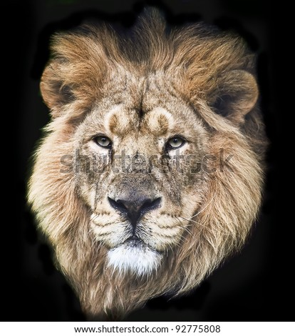 Portrait of an Asiatic Male Lion Isolated on a Black background - stock photo