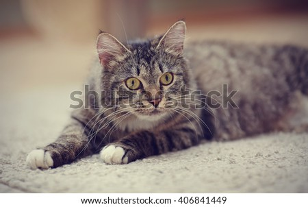 Portrait of an attentive striped cat cat with yellow eyes lies. - stock photo