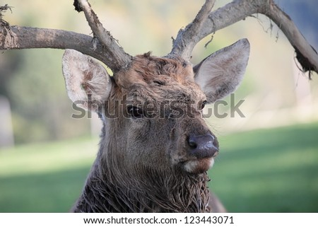 portrait of an austrian deer