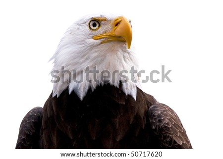Portrait of an Bald Eagle (Haliaeetus leucocephalus), symbol of the United States of America. - stock photo