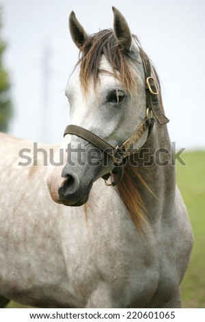 Portrait of an beautiful arabian white horse. 	Close-up of a gray youngster in summer paddock - stock photo