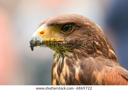 Portrait of an eagle - stock photo