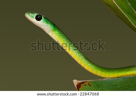 Portrait of an eastern green snake (Philothamnus natalensis), South Africa - stock photo
