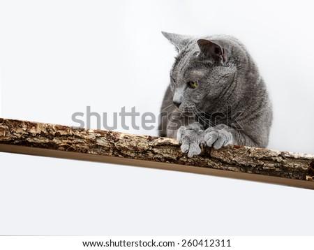 Portrait of an elegant purebred Russian Blue Cat - stock photo