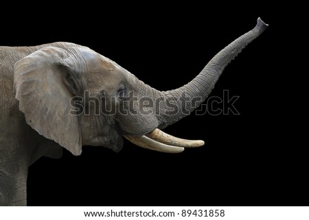 Portrait of an Elephant - stock photo