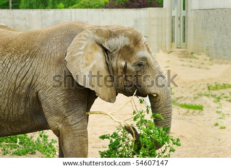 Portrait of an elephant eating branch with green leaves - stock photo