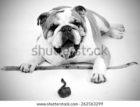 portrait of an english bulldog full of wrinkles lying on White backdrop looking at the camera with its tongue out and  playing with a pipe in black and white - stock photo