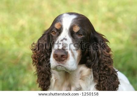 Portrait of an English Springer spaniel - stock photo