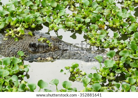 Portrait of an Estuarine Crocodile amongst the Water Hyacinths. Photo was taken in Langkawi Island, Malaysia