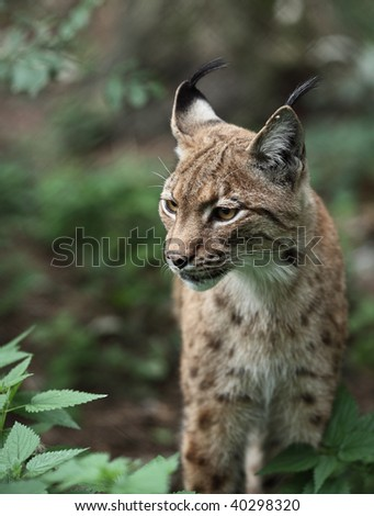 Portrait  of an Eurasian Lynx (Lynx lynx) - stock photo