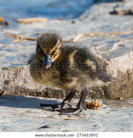 Portrait of an extremely cute mallard duckling on a rock at the shore of a park lake in Freiburg, Germany - stock photo