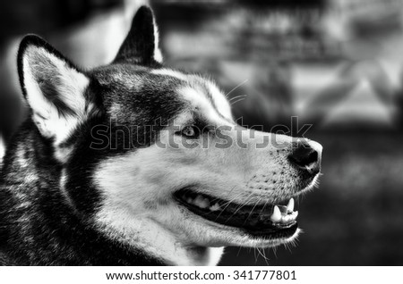portrait of an husky dog in black and white