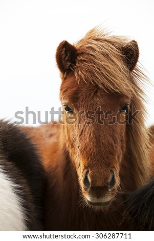 Portrait of an Icelandic pony with a brown mane in a herd