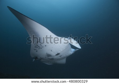 Portrait of an impressive Manta ray (Manta birostris) at a tropical offshore coral reef cleaning station, in the popular holiday destination of the Maldives Islands