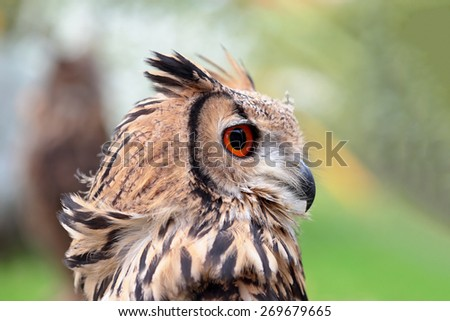 Portrait of an indian eagle-owl, Bubo bengalensis, looking behind - stock photo