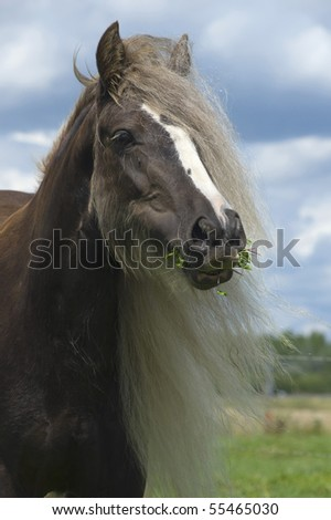 portrait of an irish cob horse with a long mane eating grass with a funny expression on the face - stock photo