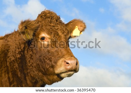 Portrait of an irish cow in the Burren