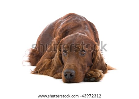 Portrait of an Irish Red Setter isolated on a white background